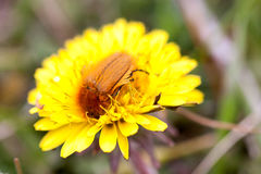 May bug or cockchafer or Melolontha on a dandelion Royalty Free Stock Photography