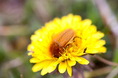 May bug or cockchafer or Melolontha on a dandelion Stock Images
