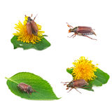 May bug collection Royalty Free Stock Photos