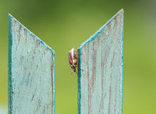 A may-bug crawling on a painted wooden fence Stock Photography