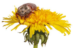 May bug on dandelion. Isolated on white stock images