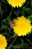 May bug on a dandelion flower. Royalty Free Stock Images