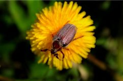 May bug on a dandelion flower. Royalty Free Stock Photography