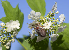 May-bug on flowers of viburnum. Royalty Free Stock Photo