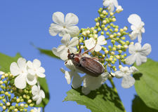 May-bug on flowers of viburnum. Royalty Free Stock Photography