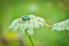 The may-bug Royalty Free Stock Images