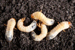 May-bug larvae in the soil background. Melolontha vulgaris Royalty Free Stock Images