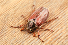 May bug Stock Image