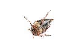 May bug macro isolated on white. Royalty Free Stock Photos