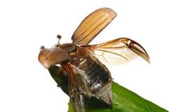 May-bug (Melolontha vulgaris). Flying up may-bug (Melolontha vulgaris) close-up stock photo