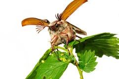 May-bug (Melolontha vulgaris). Flying up may-bug (Melolontha vulgaris) close-up stock photos