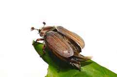 May-bug (Melolontha vulgaris) Stock Images