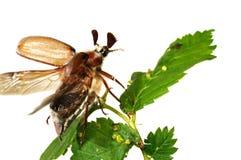 May-bug (Melolontha vulgaris). Flying up may-bug (Melolontha vulgaris) close-up stock images