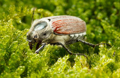 May bug in moss Royalty Free Stock Photo