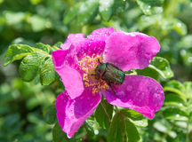 may-bug pollinating a  flower Royalty Free Stock Image