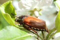 May bug Royalty Free Stock Images