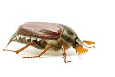 May-bug (tree beetle, Melontha Vulgaris) Royalty Free Stock Image