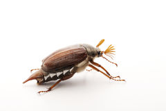 May bug on white Stock Photo