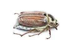 May-bug on white background Stock Photo