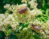 May-bugs eat mountain ash flowers. Royalty Free Stock Images