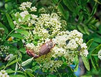 May-bugs eat mountain ash flowers. Royalty Free Stock Image