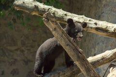 Mały czarny niedźwiedź bawić się na wielkim drzewie Obrazy Royalty Free