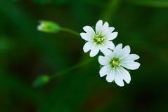 mały dwa białe kwiaty dziki Obraz Royalty Free