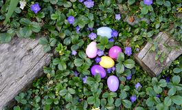 May Easter Egg Hunting Begin. Colorful eggs hidden in some blooming ground cover in the garden on a sunny afternoon. Close up Royalty Free Stock Images