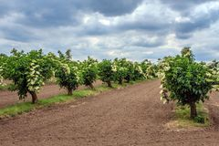 Agriculture in Austria. In May, the Elderberry fields are flowering in rural Burgenland, Austria Stock Photography