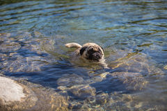 May 2015 - Elvis is enjoying the first swim of the summer season Stock Image