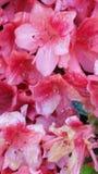 May flowers. Blooming azaleas in bloom flower flowers in blooming Stock Image