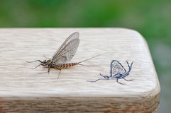 May fly / fly box. Beautiful May fly on wooden fly box Stock Photography