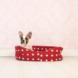Mały Francuskiego buldoga szczeniak Zdjęcia Royalty Free