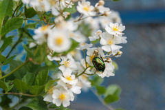 May green beetle hrusch on flowers Royalty Free Stock Photography