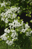 May or Hawthorn Blossom Royalty Free Stock Photo