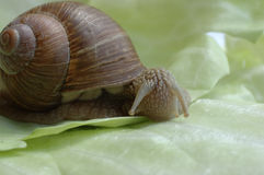 May I eat it?. Snail sitting on leaf of cabbage Stock Photos