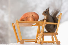 May I eat now. Close up of  red squirrels sitting on a chair with table with big acorns Stock Photos