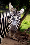 May I Help You?. A zebra looking at the camera Royalty Free Stock Image