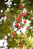 The fruit Litchi. In May or in June the litchi fully hang up on the branch.the round red ball with green leaves together gather.good harvest Royalty Free Stock Photos