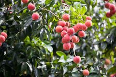 The fruit Litchi. In May or in June the litchi fully hang up on the branch.the round red ball with green leaves together gather.good harvest Royalty Free Stock Images