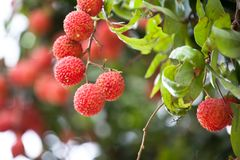The fruit Litchi. In May or in June the litchi fully hang up on the branch.the round red ball with green leaves together gather.good harvest Stock Images