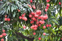 The fruit Litchi. In May or in June the litchi fully hang up on the branch.the round red ball with green leaves together gather.good harvest Royalty Free Stock Image