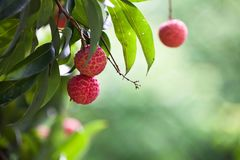 The fruit Litchi. In May or in June the litchi fully hang up on the branch.the round red ball with green leaves together gather.good harvest Royalty Free Stock Photography