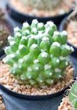 Mały kaktus. Obrazy Royalty Free