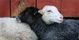 May, Lamb, Friends Stock Images