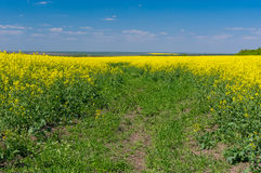 May landscape with blue sky and flowering rape-seed field Royalty Free Stock Photography