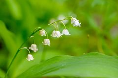 May lilies of the valley blossom with white buds in the form of bells royalty free stock photography