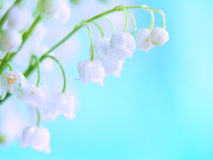 May lily. Bouquet of lily of the valley in May on a blue background stock image