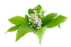 May Lily. Plant isolated on white background Stock Photography
