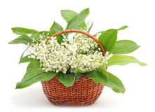 May-lily in basket. May-lily in basket on a white background stock photo